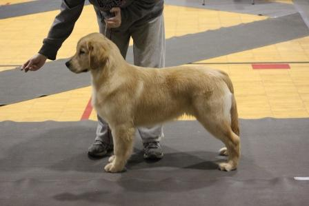7 month old golden retriever pictures